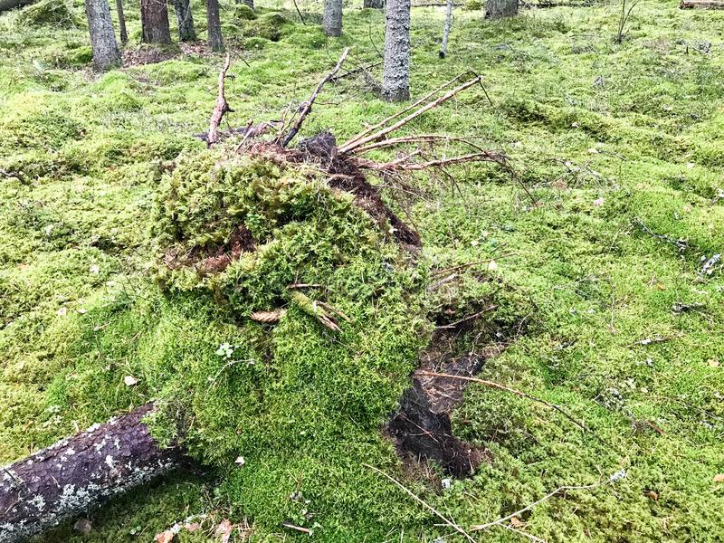Wykorzeniający drzewo, drzejący od ziemi korzeniami drzewo przerastający z zielonym mech i trawą w lesie po huraganu fotografia stock