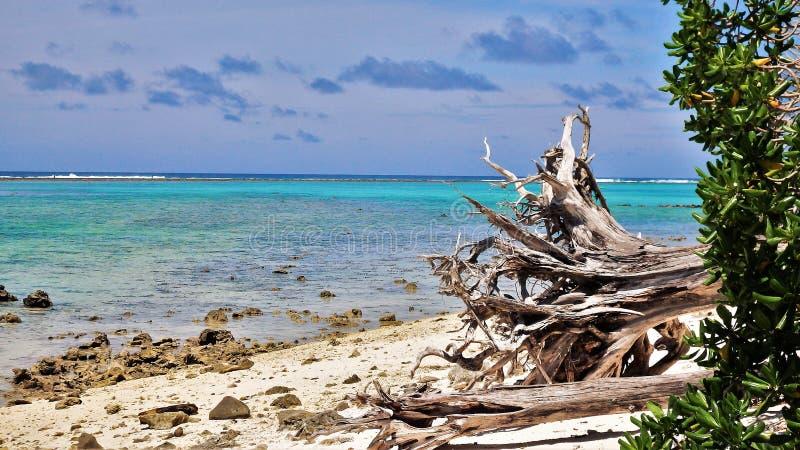 Wykorzeniający drzewo na dennym brzeg zdjęcie royalty free