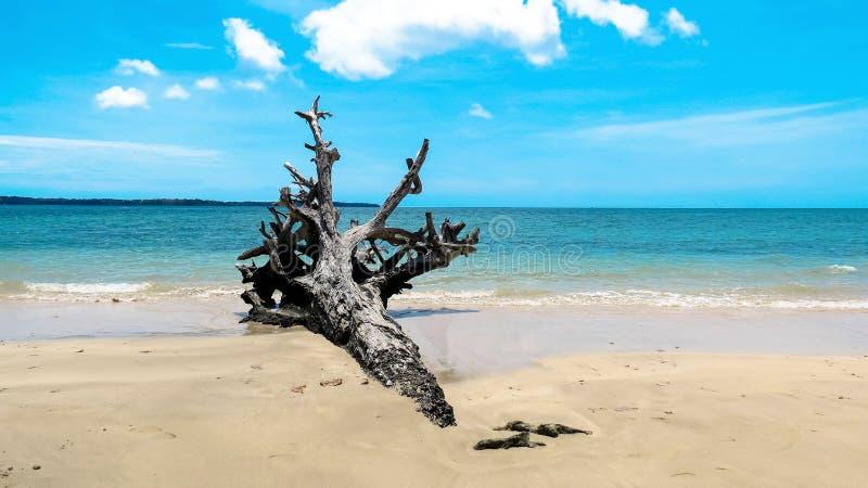 Wykorzeniający drzewo na plaży zdjęcia royalty free