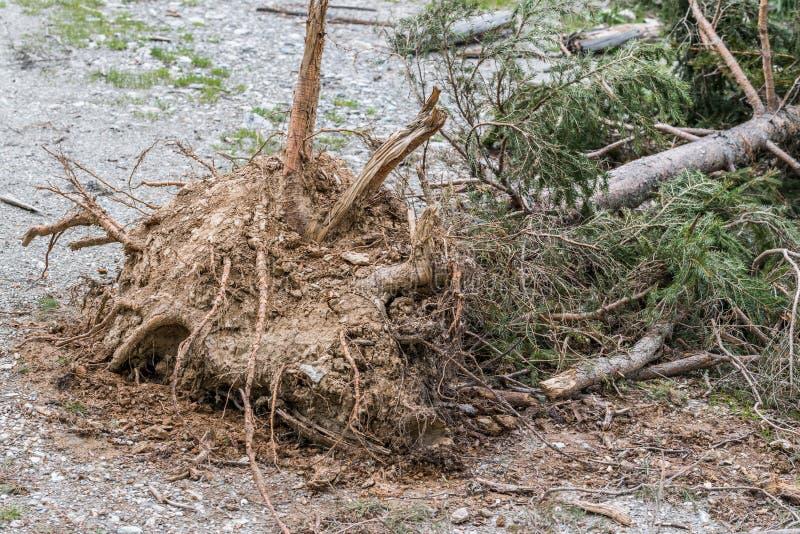 Wykorzeniający drzewo po osunięcie się ziemi, Austria zdjęcie stock