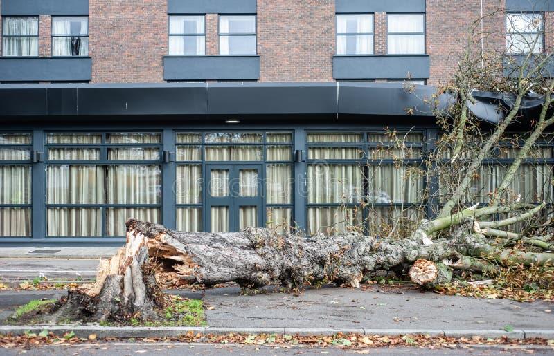 Wykorzeniający drzewo spadać na budynku po burzy zdjęcia royalty free