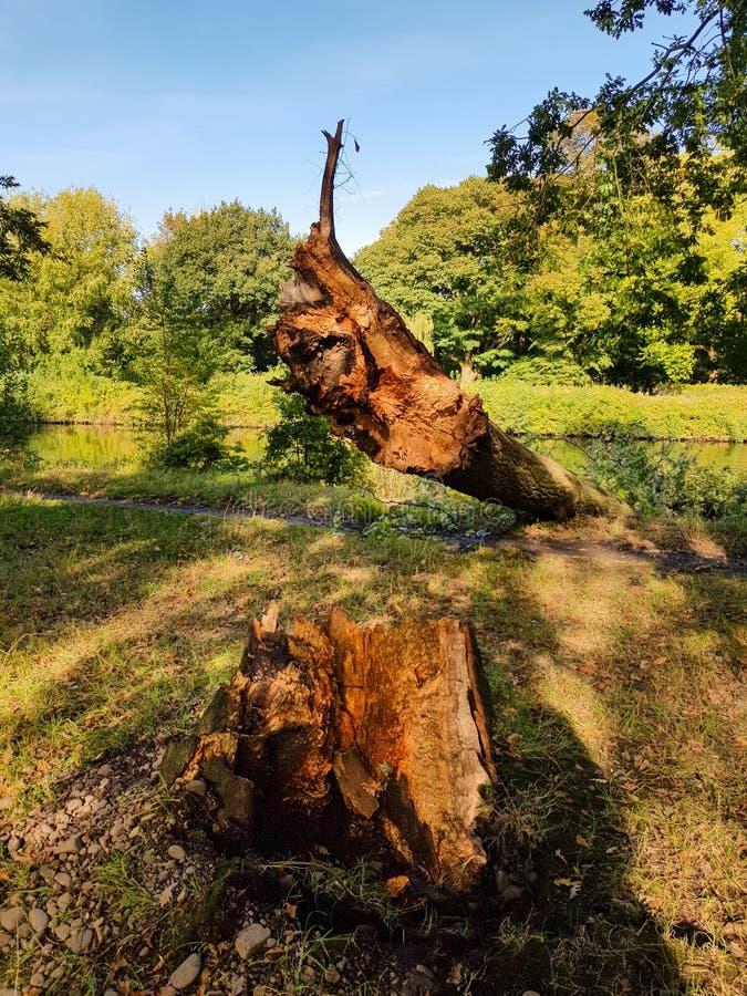 Wykorzeniający drzewo Spadać w rzekę obrazy stock