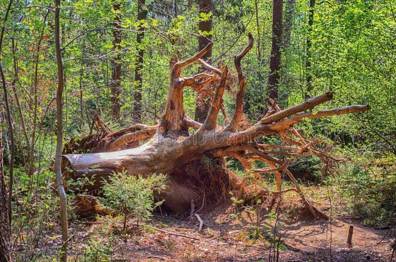 Wykorzeniający drzewo w lesie fotografia royalty free