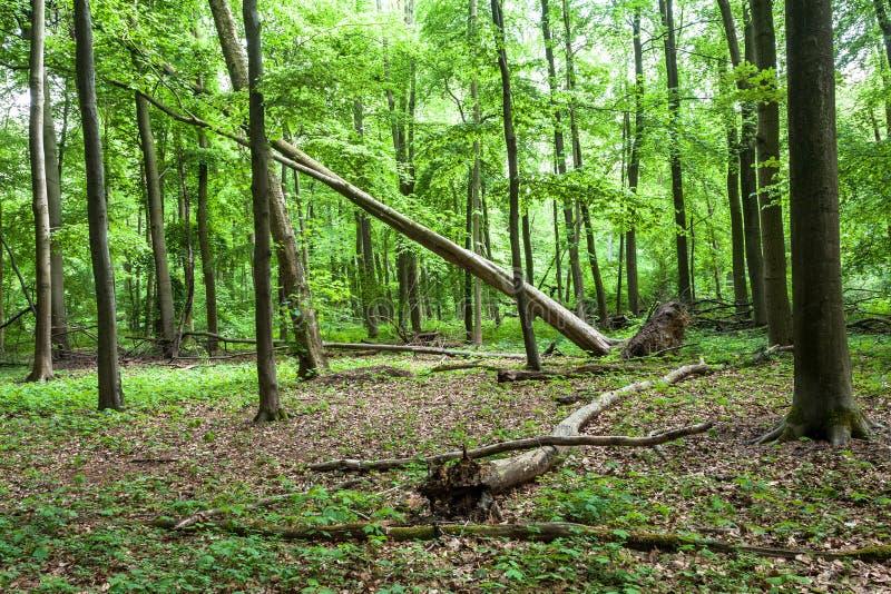 Wykorzeniający drzewo W lesie fotografia stock