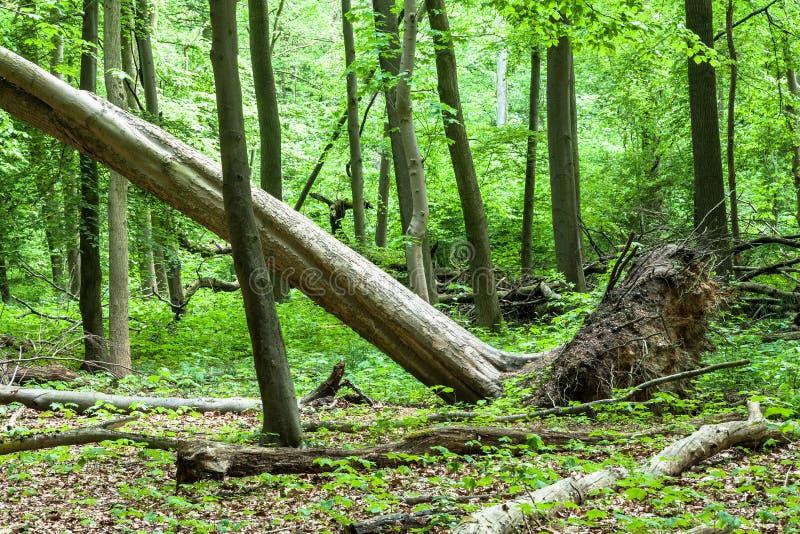 Wykorzeniający drzewo W lesie zdjęcia royalty free