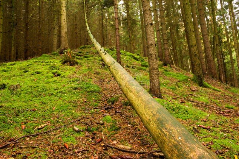 Wykorzeniający drzewo w lesie obraz royalty free