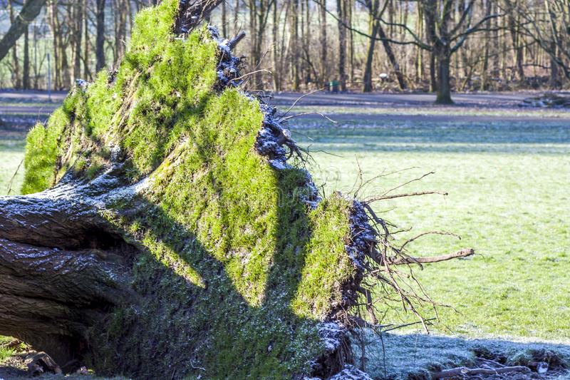 Wykorzeniający drzewo w parku w Niemcy obraz royalty free