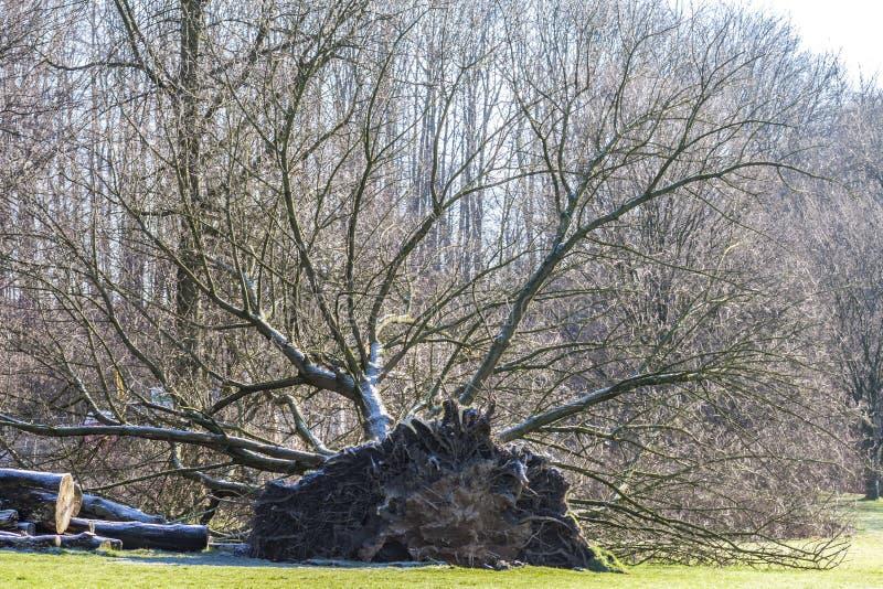 Wykorzeniający drzewo w parku w Niemcy zdjęcie royalty free