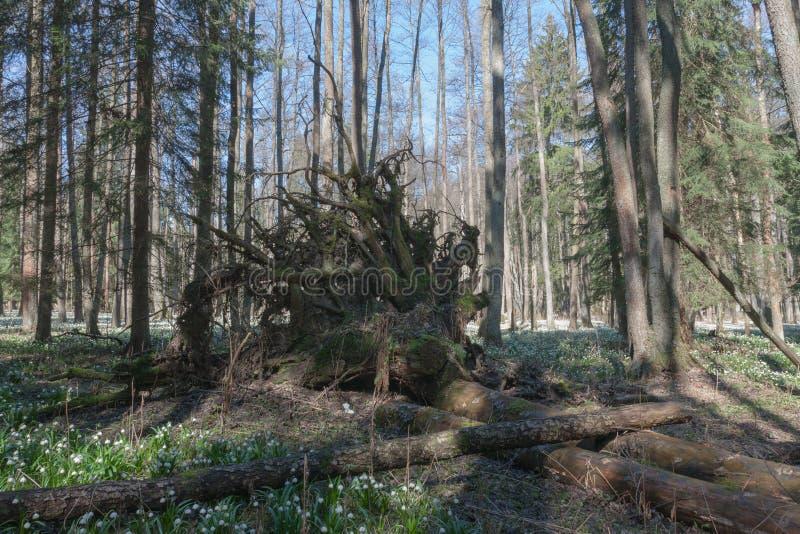 Wykorzeniający drzewo w rezerwacie przyrody w wiosna ranku obraz royalty free