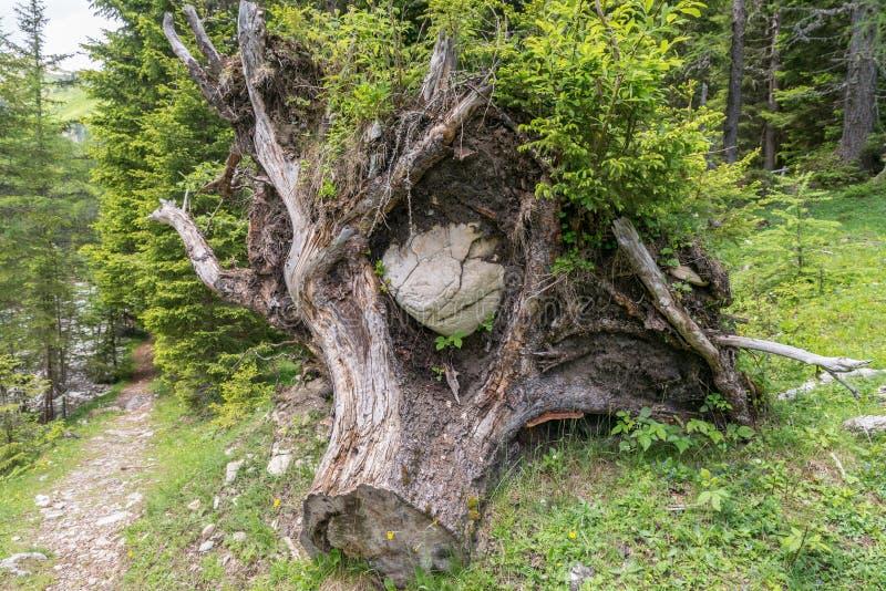 Wykorzeniający drzewo z klauzurowym ampuła kamieniem, Austria zdjęcia royalty free
