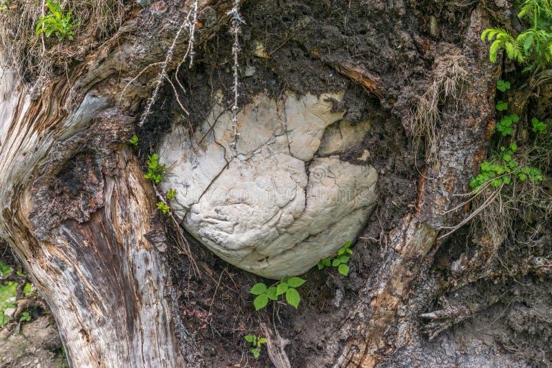 Wykorzeniający drzewo z klauzurowym ampuła kamieniem, Austria zdjęcia stock