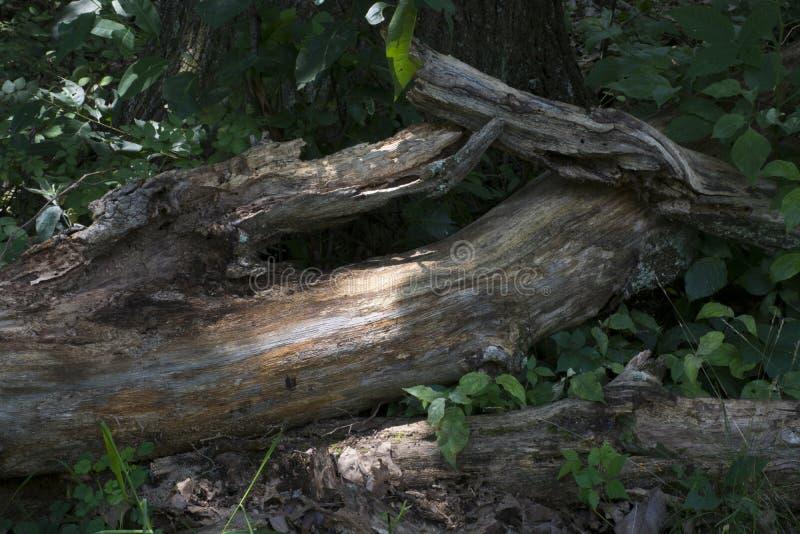 Wykorzeniający drzewo z pluśnięciem światło słoneczne zdjęcia stock