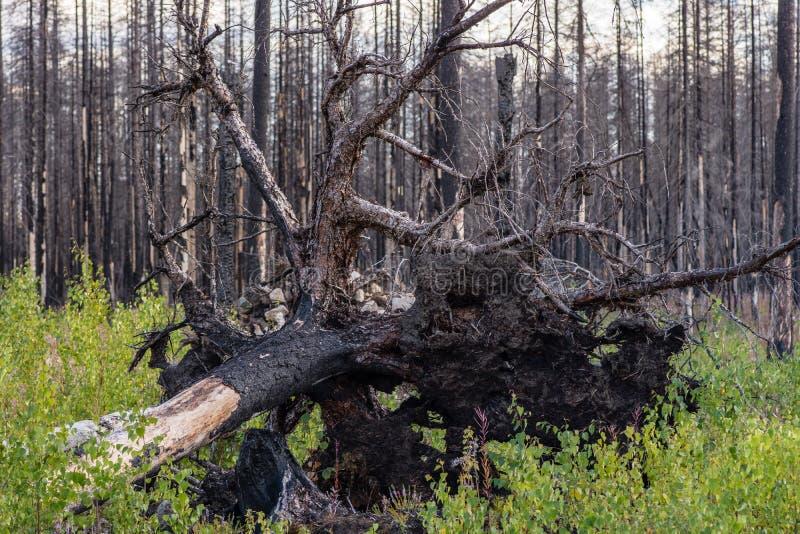 Wykorzeniający i palący jedlinowy drzewo w lesie pustoszył ogieniem zdjęcia stock