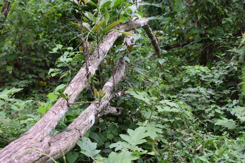Wykorzeniający Kawowi drzewni bagażniki spadali na zalesionej ziemi fotografia royalty free