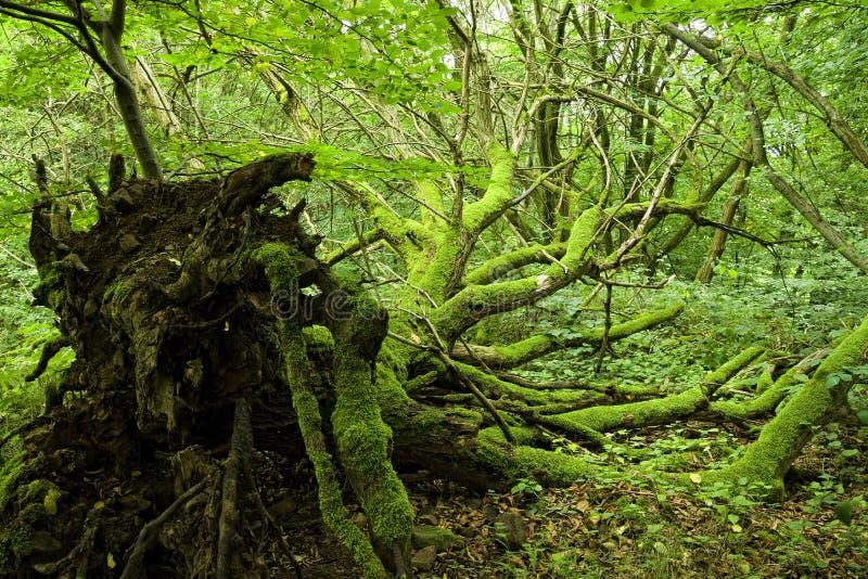 wykorzeniający mechaty drzewo obrazy royalty free