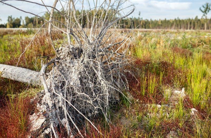 Wykorzeniający suchy drzewo w jesieni łące obraz royalty free