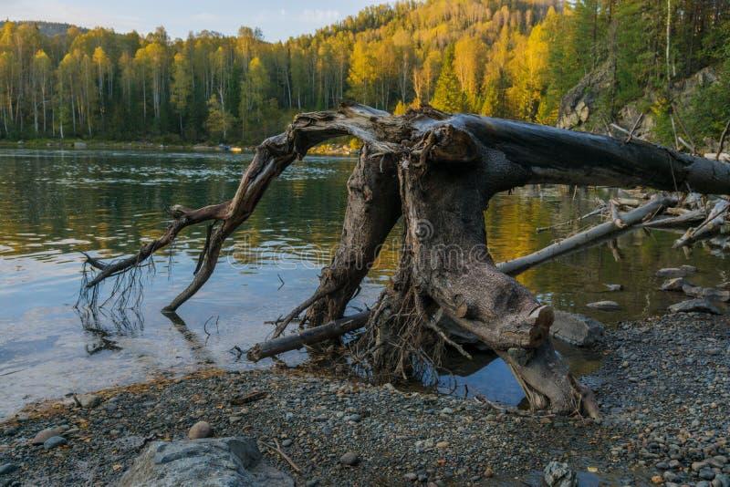 Wykorzeniający suchy drzewo w rzece fotografia stock