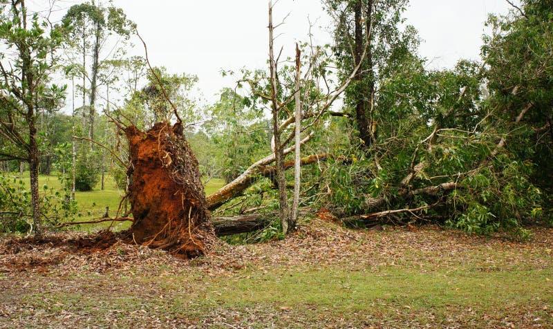 Wykorzeniający tropikalny drzewo po ciężkiej burzy fotografia stock