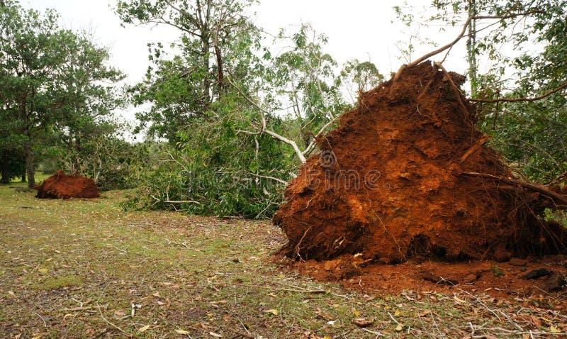 Wykorzeniający tropikalny drzewo po ciężkiej burzy obraz royalty free
