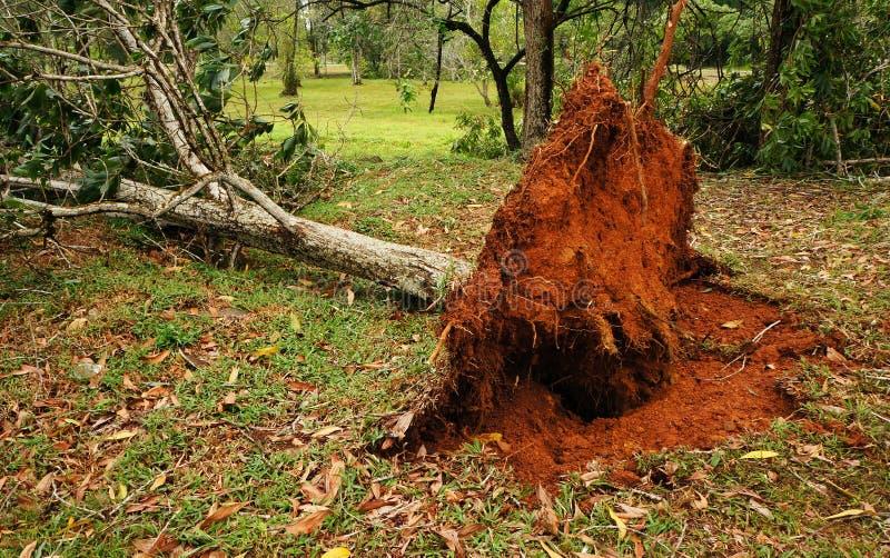 Wykorzeniający tropikalny drzewo po ciężkiej burzy obraz stock