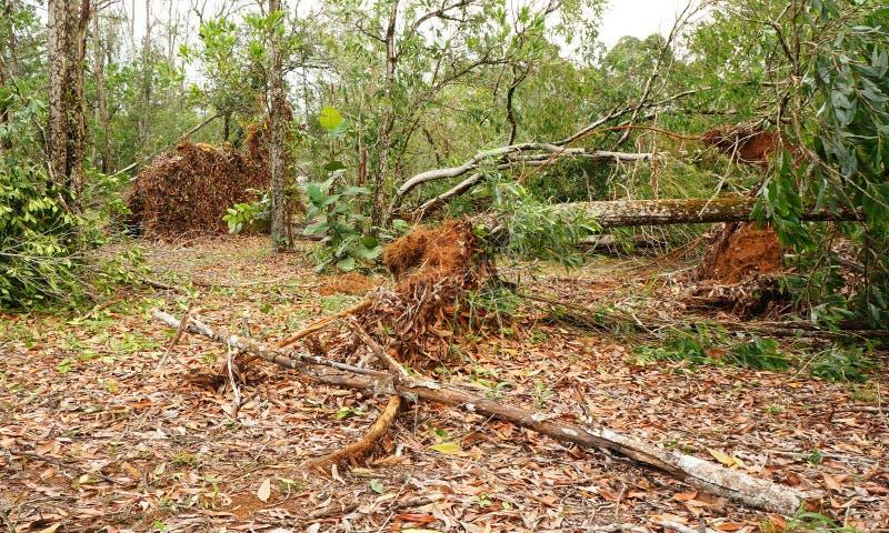 Wykorzeniający tropikalny drzewo po ciężkiej burzy obrazy royalty free