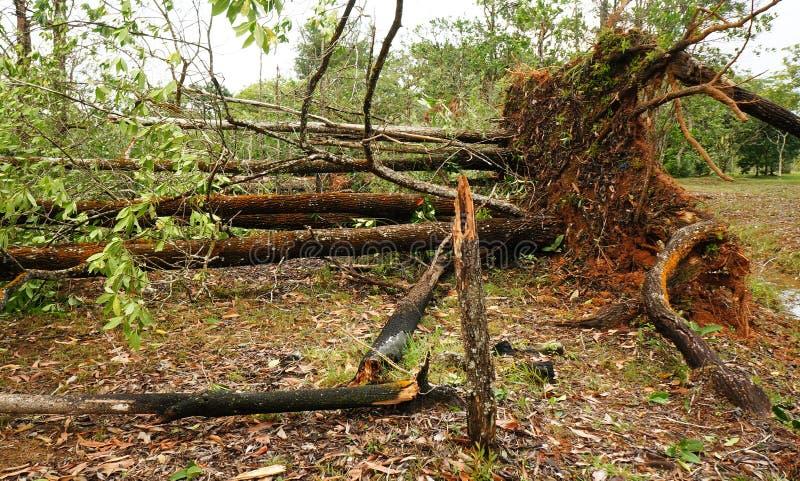 Wykorzeniający tropikalny drzewo po ciężkiej burzy zdjęcia stock