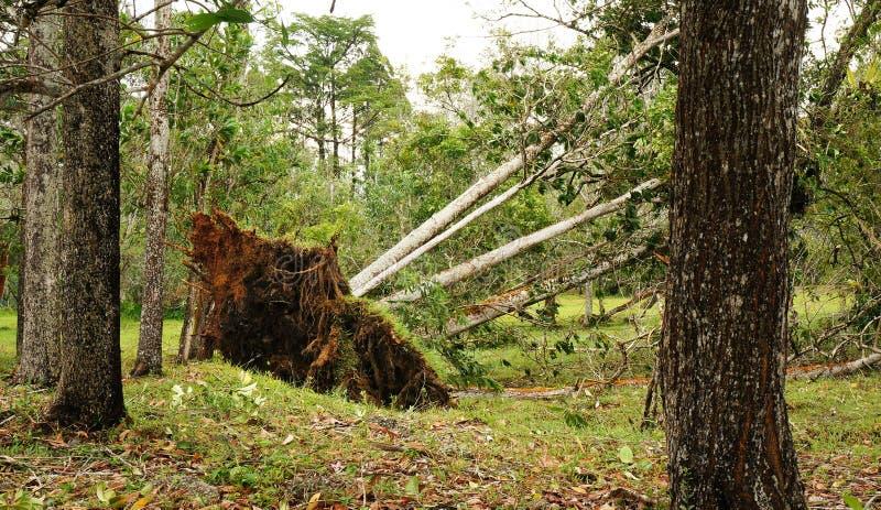 Wykorzeniający tropikalny drzewo po ciężkiej burzy zdjęcie royalty free