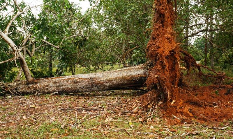 Wykorzeniający tropikalny drzewo po ciężkiej burzy zdjęcia royalty free