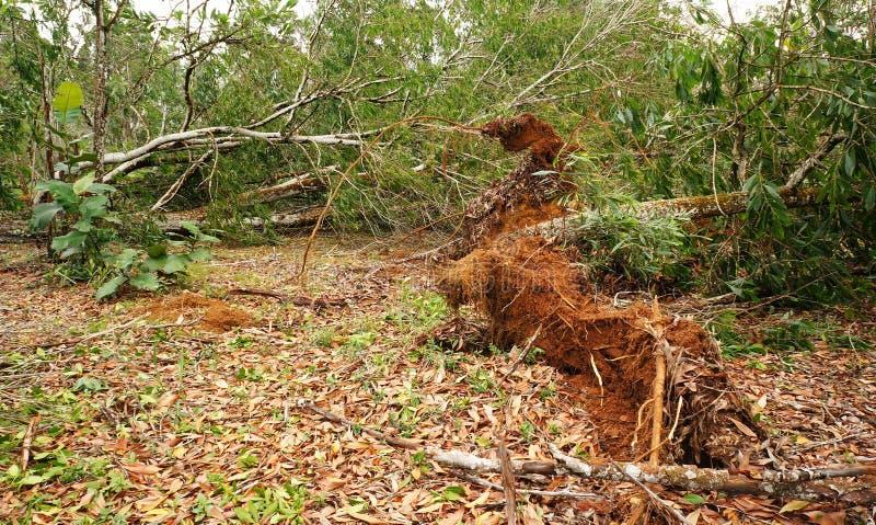 Wykorzeniający tropikalny drzewo po ciężkiej burzy zdjęcie stock