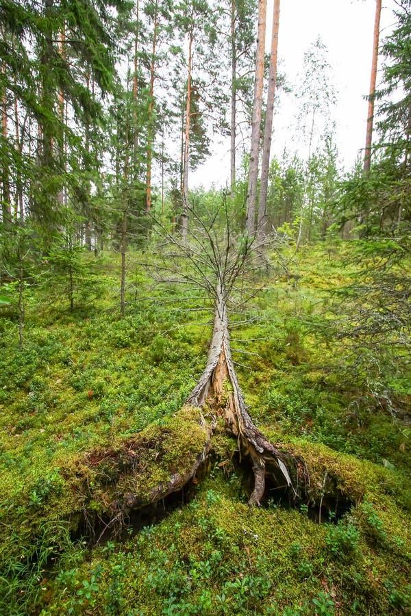 Wykorzeniaj?cy drzewa po huraganu w lesie zdjęcia stock
