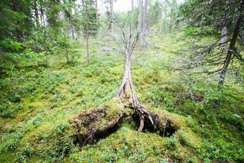 Wykorzeniaj?cy drzewa po huraganu w lesie obrazy stock