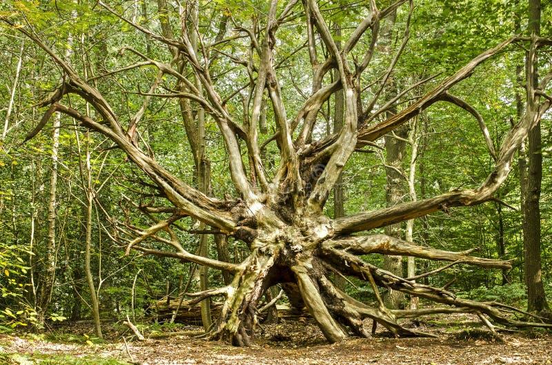 Wykorzeniaj?cy drzewo W lesie obraz stock