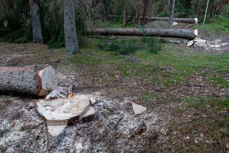 Wylesienie w Środkowym Europa Cięcie puszka świerkowy drzewo w lasowym terenie fotografia stock