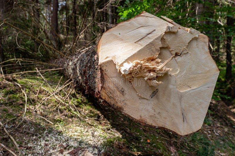 Wylesienie w Środkowym Europa Cięcie puszka świerkowy drzewo w lasowym terenie zdjęcie stock