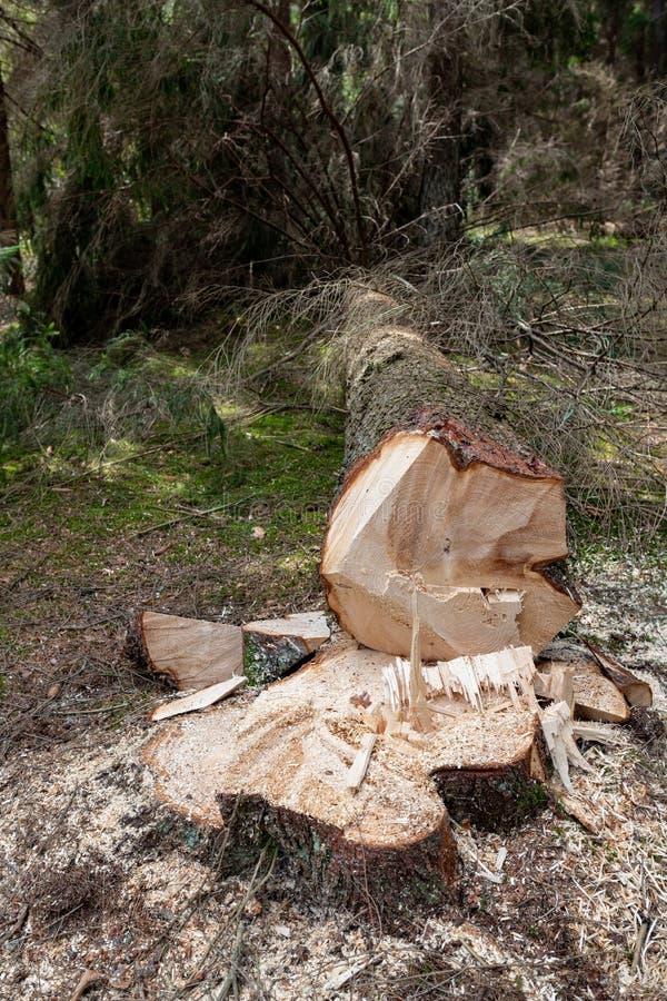 Wylesienie w Środkowym Europa Cięcie puszka świerkowy drzewo w lasowym terenie obrazy stock