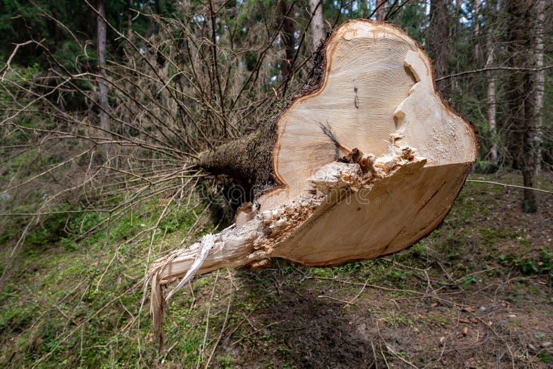 Wylesienie w Środkowym Europa Cięcie puszka świerkowy drzewo w lasowym terenie fotografia royalty free