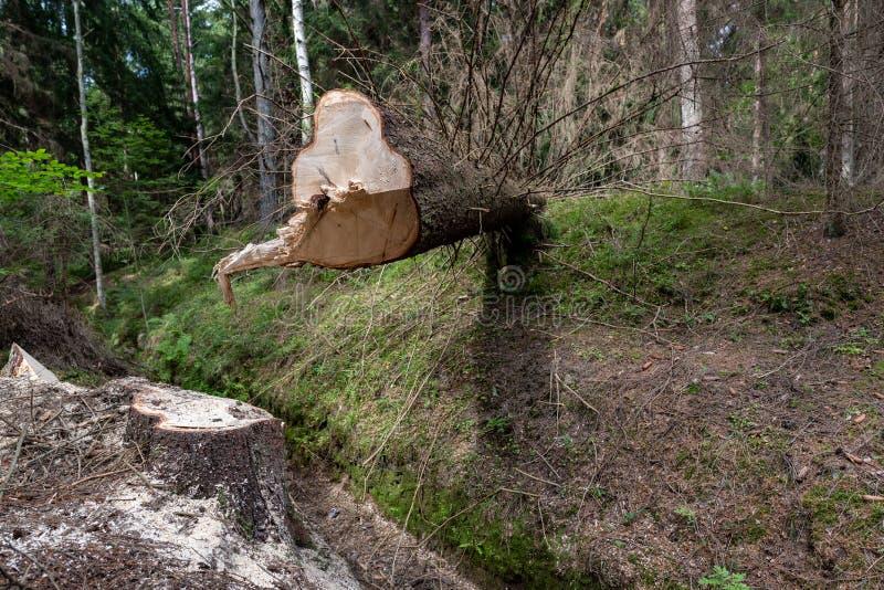 Wylesienie w Środkowym Europa Cięcie puszka świerkowy drzewo w lasowym terenie zdjęcia stock