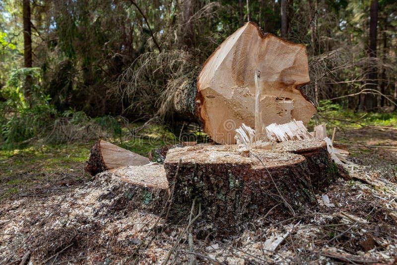 Wylesienie w Środkowym Europa Cięcie puszka świerkowy drzewo w lasowym terenie obraz stock