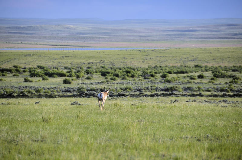 Download Wyoming Antelope stock photo. Image of green, pronghorn - 20086292