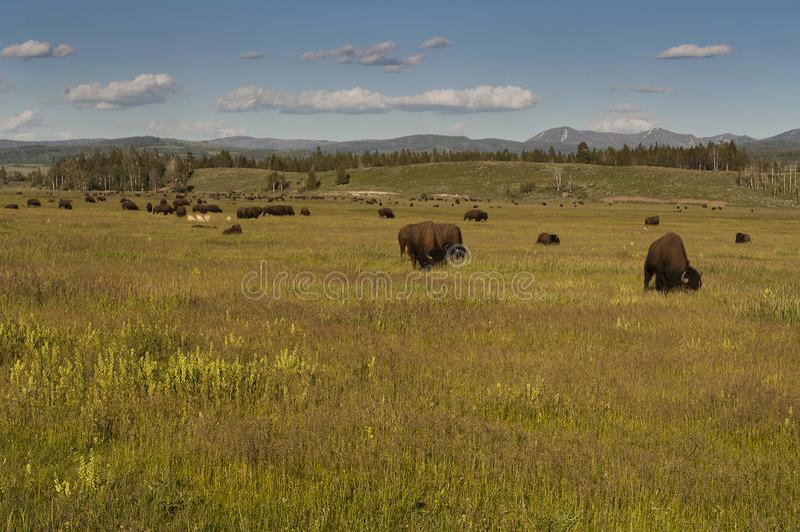 Wyoming buffalo royalty free stock photo