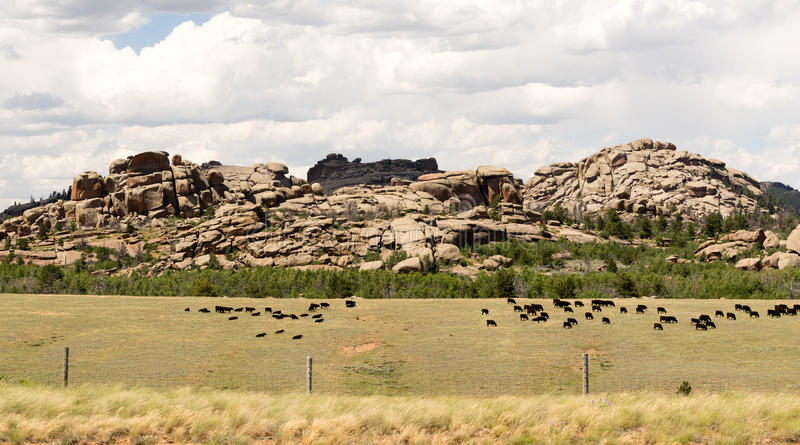 Wyoming Cattle Ranch Livestock Cows Beef Farm Rock Butte. A wild western scene and a large herd of cattle stock image