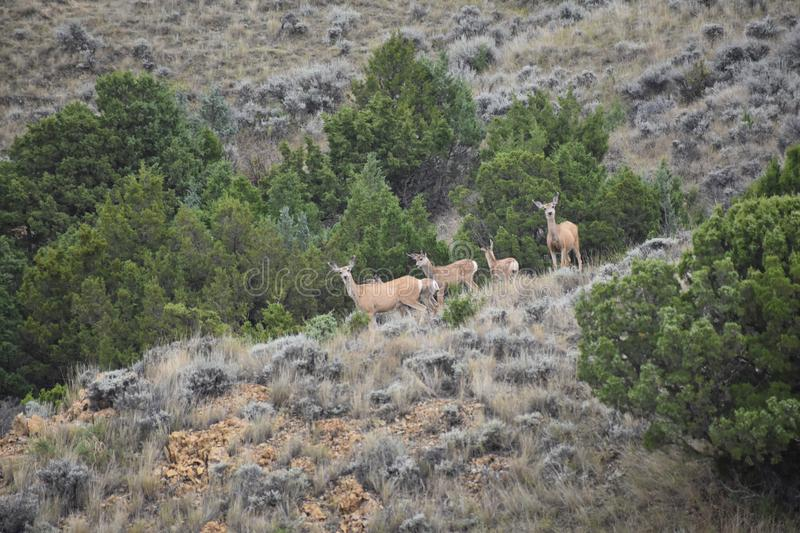 Wyoming Mule Deer habitat. Mule deer live in rough country, in the mountains as well as in sage and cedar back country of the West. These families were found in stock photography