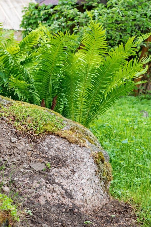 Wyprostowywa naturalnego wzór paproć Piękny tło z potomstwo paproci zielonymi liśćmi zdjęcie stock