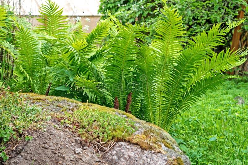 Wyprostowywa naturalnego wzór paproć Piękny tło z potomstwo paproci zielonymi liśćmi fotografia royalty free
