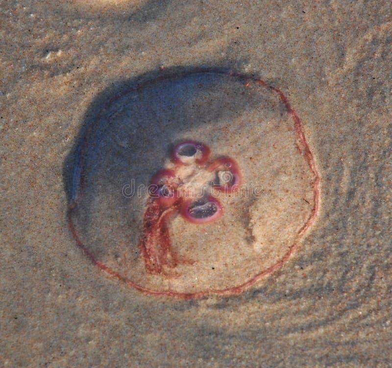 wyrzucać na brzeg jellyfish obraz stock