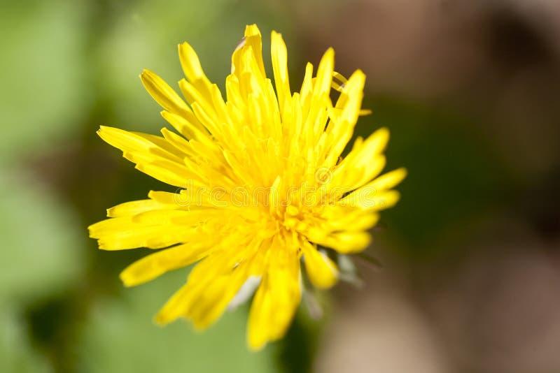 Wysadzać w powietrze dzikiego kwiatu taraxacum tła makro- sztukę piękną w wysokiej jakości druków produktach obrazy royalty free