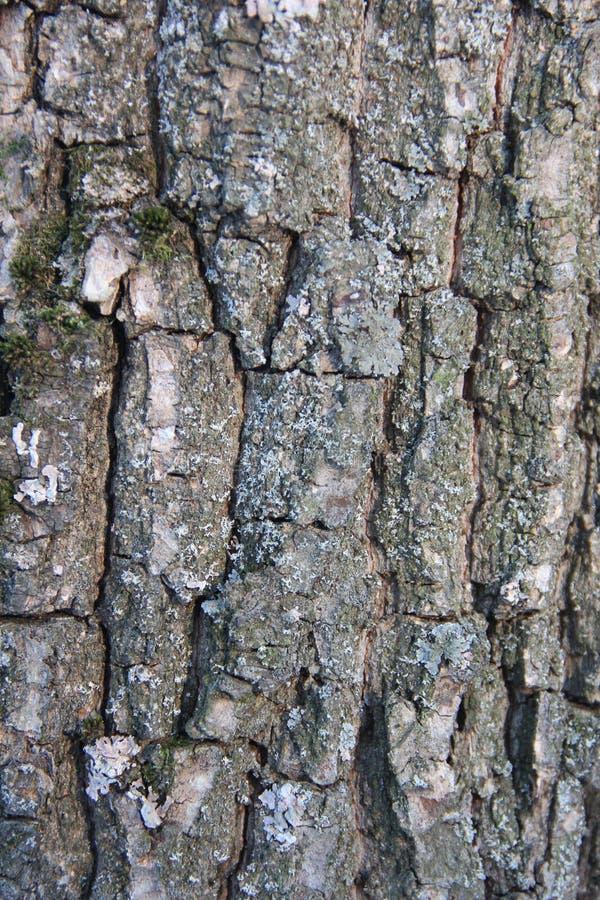 Wysoce szczegółowa stara dębowa drzewnej barkentyny tekstura, zielony mech Natury ` s tło zdjęcia stock