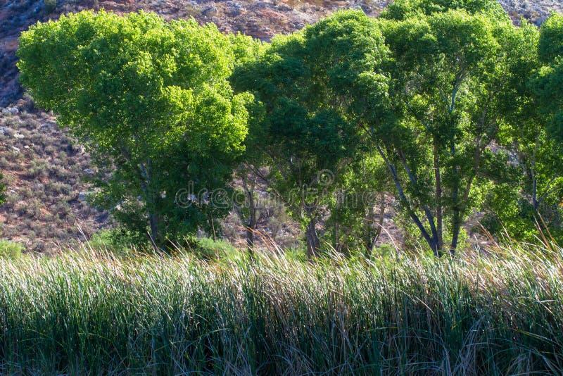 Wysocy cottonwood drzewa i bagno trawy r przy laguna w Nieżywego konia rancho stanu parku fotografia royalty free