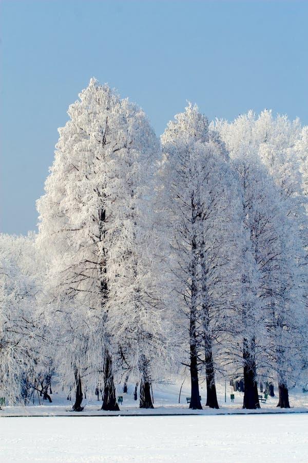 wysocy drzewa obrazy stock