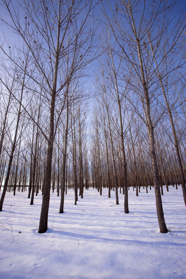 Wysocy drzewa w śnieżnym sadzie. zdjęcie stock